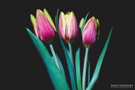 2019-02-Tulips