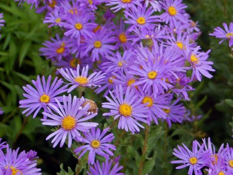 799px-Asteraceae_-_Aster_amellus