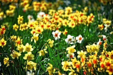 daffodil-3317306_960_720