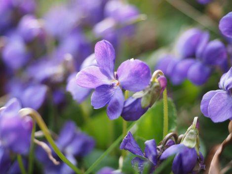 scented-violets-1077143_960_720